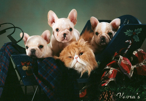 Harley's Frenchies http://tidewaterfrenchies.com/more_puppies.html